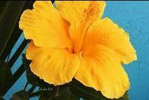 Florida Flowers / http://www.annamariaislandhomerental.com https://www.facebook.com/AnnaMariaIslandBeachLife Twitter: https://twitter.com/AMIHomeRental