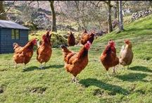 Chicken keeping / by Patsy Caudill
