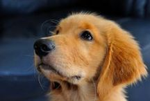 Livin' My Life Like it's Golden / All about Golden Retrievers / by Queenie Baxter