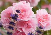 Aed - roosid / Rosegarden