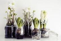 Hyacinths / Hyacinths, grape hyacinths: bouquets, gardens, and bulbs.