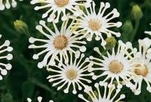 Moon Garden Plants / White-flowering, Variegated, and Grey-leaved Foliage