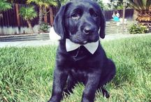 Jax the Black Lab / Growing up with Jax! DOB: 3/14/15 English Labrador  Just loving life with my family!!
