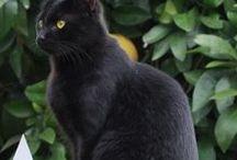 czarne koty