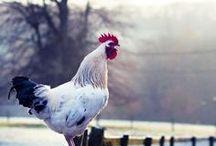 Farmyard buddies & Barns