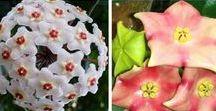 Hoya - Porzellanblume