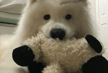 Crosby 2 year old Samoyed living in Melbourne / Airebis Samoyed
