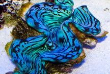 clam / Species of clams and their colourful mantles.