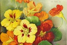 Botanical-Seed Packets / All the wonderful vintage seed packets / by Dona Deam