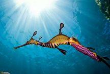 seahorse + seadragon / Collection of different Seahorse species