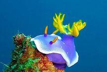 nudibranch, sea slug + sea snail / A collection of Nudibranch species