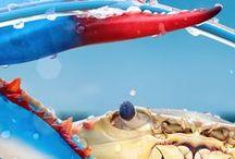crustacean / Images of species in Class Crustacea, including crabs, lobster, shrimp, plankton and marine parasites.