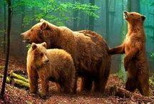 wild bear / Bears