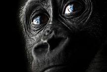 ape, monkey + gorilla / Monkeys, apes and gorillas.