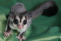 possum, glider, + squirrel / Images of possums, gliders and squirrels.