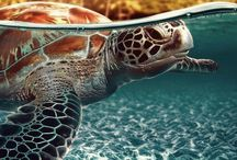 turtle + tortoise / Images of sea turtles and freshwater turtles from all over the world. Some terrestrial.