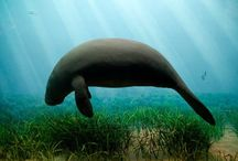 dugong & manatee / Images of dugongs and manatees from all over the world.