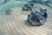 ray / Images of sting rays and manta rays.