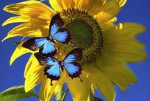 butterfly / butterflies
