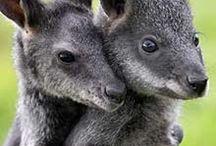 koala & kangaroo / Species of koalas and kangaroos endemic to Australia.