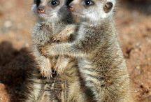 meerkat + mongoose