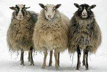 lamb, goat, lama, pig, cow