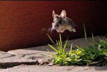 mice, guinea + chinchilla