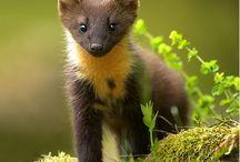 marten, minks, polecats, wolverine, otter + badger / Mammal