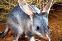 brush tailed rabbit rat, bilby, quokka, degu + tassie devil