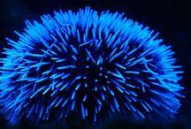 sea urchin + sand dollar