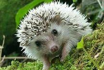 echidna, hedgehog + porcupine