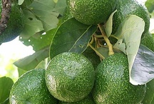 All about AVACADOS! / by Jodie Blenis Wainwright