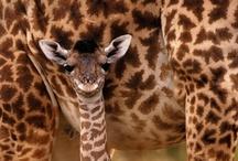 I Love Giraffes  / by Rebecca Cramm