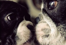 {Boston Terrier Love} / All things Boston Terrier / by Erin Nichols