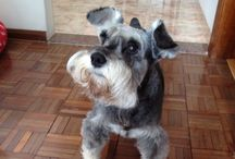 Schnauzers / This board is all about enjoying the personalities that schnauzers share with us who love them.