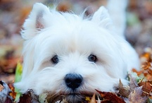 For the Love of a Westie / Sassafras Lass - my girl x