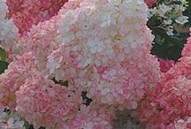 Beautiful Hydrangia's / by Anne Kepple