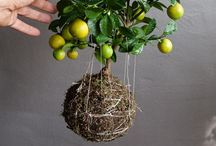 "Kokedama - Japanese String Gardens / String gardens are a type of bonsai gardening known as Kokedama, meaning ""moss-covered ball."""
