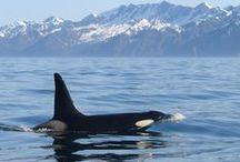 Kenai Fjords National Park / Explore the incredible Kenai Fjords National Park with Major Marine Tours! We offer seven glacier and wildlife tours, departing from Seward, Alaska.