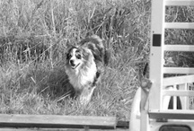 """MY """"CHECKERBOARD AUSSIES"""" !!! / Owner of four beautiful Australian Shepherds, two males, Bandit, & Buddy, and two females, Lexus and Mercedes.  The pleasure and rewards both my husband and I receive from the ownership of such beautiful and intelligent animals is """"wonderful""""."""