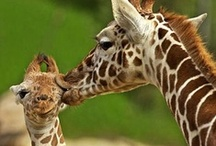 Giraffe Obsession / by Megan Guntrum