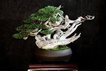 BONSAI / Bonsais, style bonsai, design bonsai