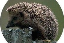 Hedgehogs. Prickly but cute.