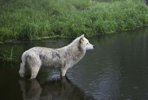 Animals / <3 cats, wolves, owls, foxes, horses, birds, hawks, falcons, frogs, turtles, and other beauties