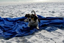 Pet-Friendly Beach Rentals / Find pet-friendly beach vacation rentals, including beachfront condos, pet-friendly beach house rentals and dog-friendly beachfront hotels. Learn about which beaches allow dogs on the Florida and Alabama Gulf coast!