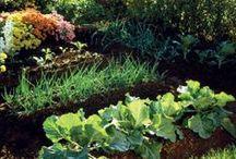 Allotments. / Community gardens.