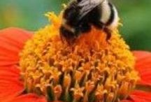 Companion Planting and Pollinators...... / How to mix it up in the Garden and provide rich rewards for insect life........