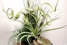 Air Plants..No fuss ☘ / Air plants
