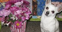 Pixxie The Professional Quilt Model / May 22,2000 to December 5, 2016 Pixxie was the most loved dog and will be greatly missed