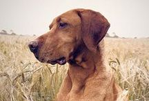 ridges / rhodesian ridgebacks - simultaneously the most lovely and goofy dog around...